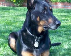 Doberman Shepherd Doberman Pinscher German Shepherd Mix