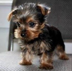 Torkie Toy Fox Terrier X Yorkie Mix Info Temperament Puppies