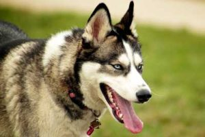 Sled Dog Breeds List And Pictures 101dogbreeds Com