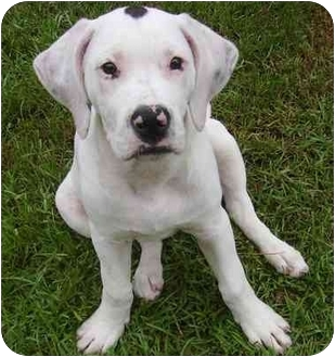 american bulldog and boxer mix bulloxer american bulldog boxer mix info puppies and 5288
