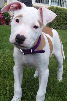 american bulldog and boxer mix bulloxer american bulldog boxer mix info puppies and 5346