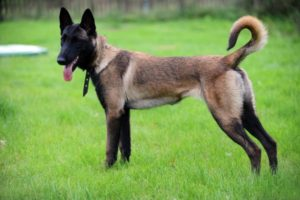 Pictures of Belgian Malinois