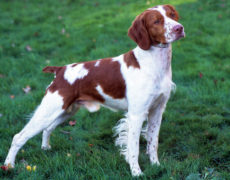 List Of Medium Sized Dog Breeds With Pictures