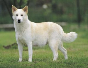 Pictures of Canaan dog