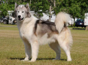 Pictures of Canadian Eskimo Dog