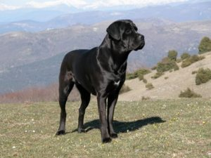 Pictures of Cane Corso