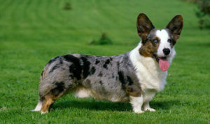 Images of Cardigan Welsh Corgi