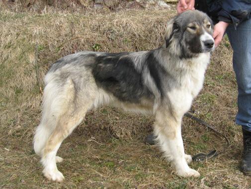 Carpathian Sheepdog (Carpathian Shepherd Dog Info ...