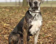 Images of Catahoula Leopard Dog