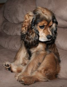 Image result for yorkshire terrier and cocker spaniel mix adult