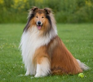 Collie Images