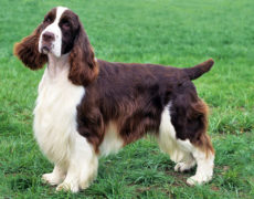 English Springer Spaniel Picture