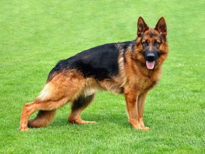 Pictures of German Shepherd