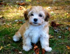 Havanese Images