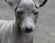 Pictures of Italian Greyhound