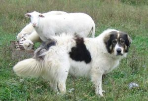 Photos of Karakachan Dog