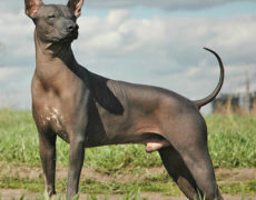 Images of Mexican Hairless Dog