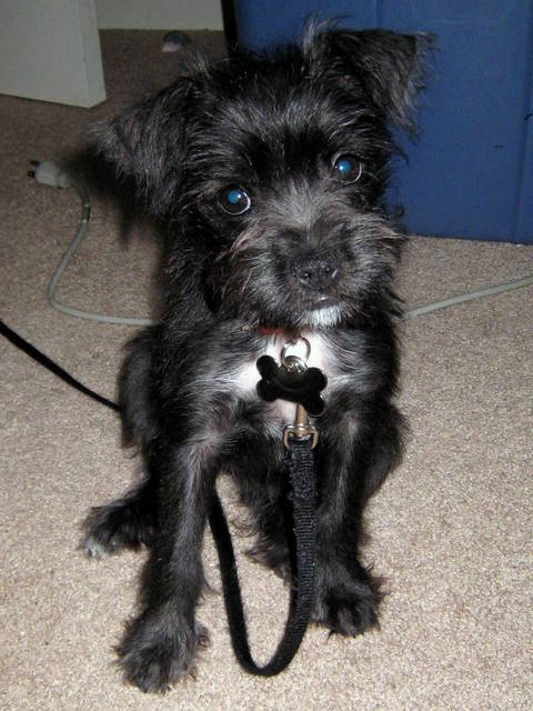 Miniboz Boston Terrier Miniature Schnauzer Mix Info And
