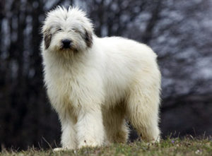 List Of Best Livestock Guardian Dog Breeds 101dogbreeds Com