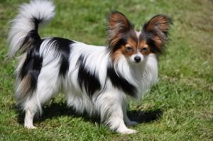 Images of Papillon