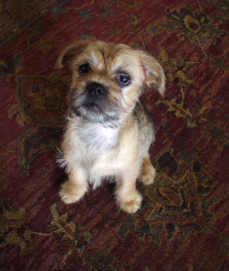 yorkie mix with pug