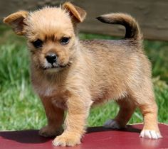 yorkie mix with pug pugshire pug x yorkie mix facts temperament puppies 4435
