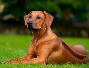 Images of Rhodesian Ridgeback