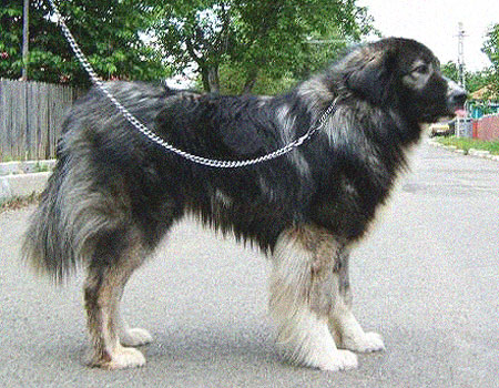 carpathian sheepdog carpathian shepherd dog info