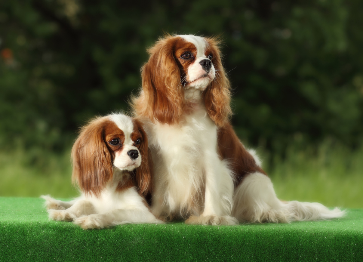 Small dog breeds 101dogbreeds for Types of dogs with photos