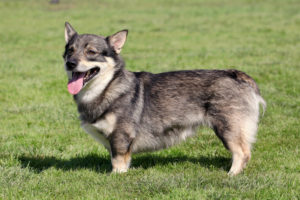 Photos of Swedish Vallhund