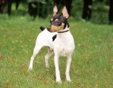 Toy Fox Terriers Picture