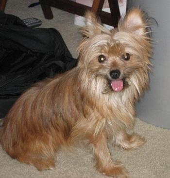 Yoranian (Yorkie-Pomeranian Mix) Info, Training, and Pictures