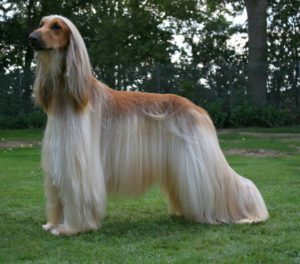 Afghan Hound Pictures