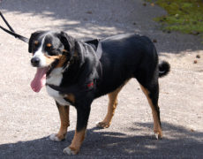Appenzeller Mountain Dog (Sennenhund)