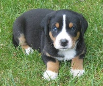 Appenzeller Mountain Dog Info Temperament Puppies Pictures