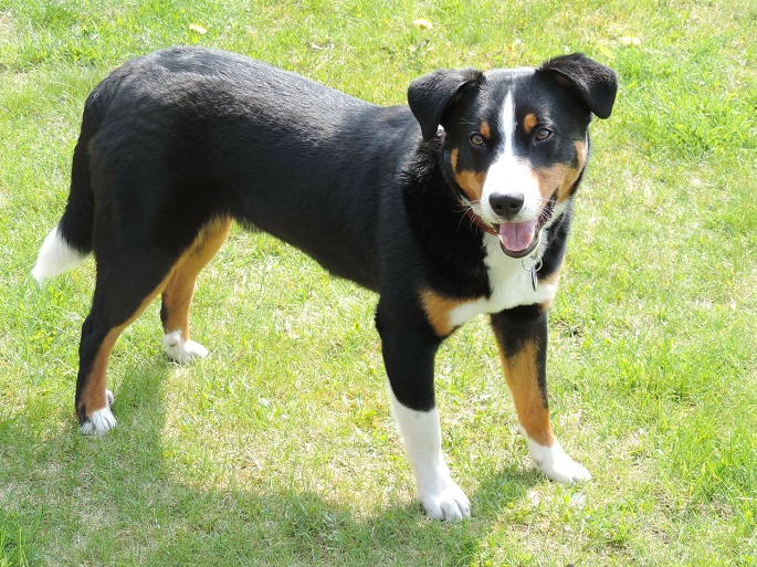 Small Cattle Dog Breeds