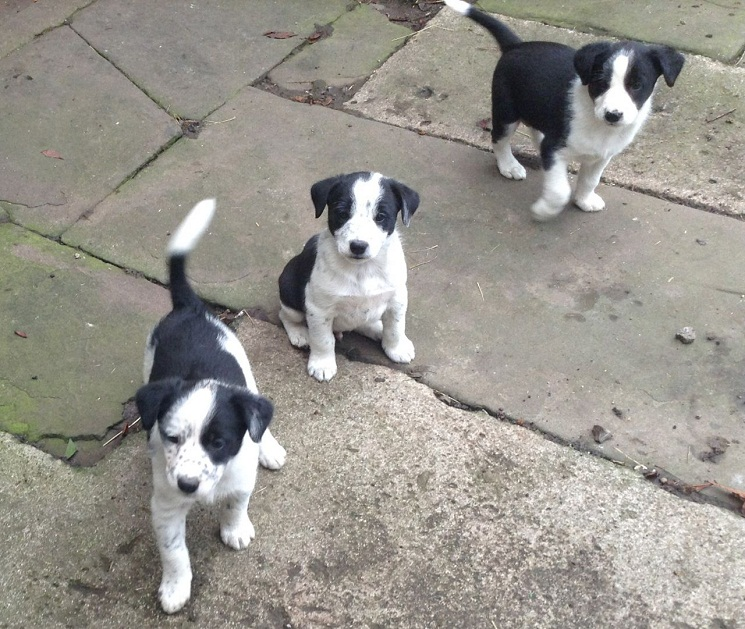 border collie jack russell terrier mix border jack border collie jack russell mix info puppies 1675
