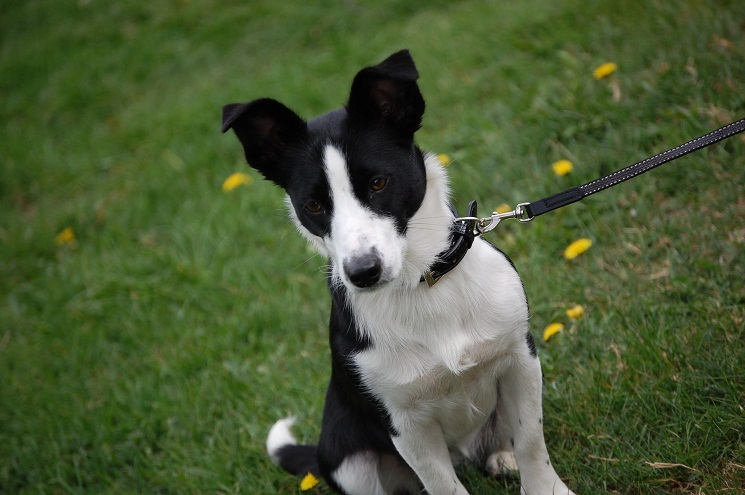 border collie jack russell terrier mix border jack border collie jack russell mix info puppies 1502