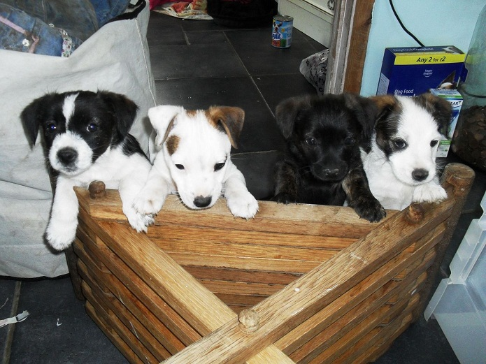 border collie jack russell terrier mix border jack border collie jack russell mix info puppies 5748