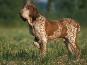 Photo of Bracco Italiano