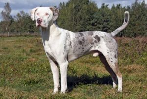 Picture of Catahoula Leopard Dog