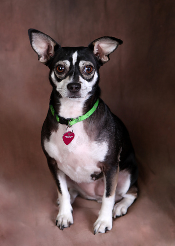 chihuahua terrier mix how big does it get rat cha rat terrier x chihuahua mix info temperament 6845