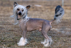 Chinese Crested Photos