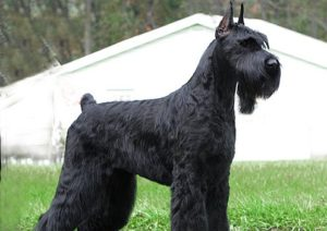 Giant Schnauzer Picture
