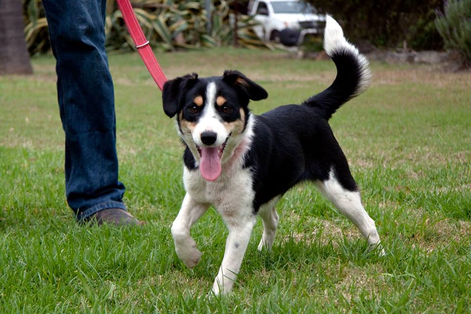 border collie jack russell terrier mix border jack border collie jack russell mix info puppies 5715