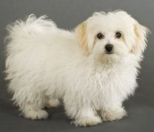 List Of Best Hypoallergenic Dog Breeds With Pictures