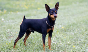 Images of Miniature Pinscher
