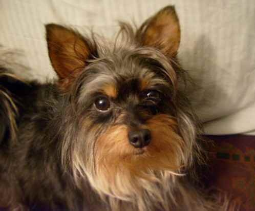 yorkshire terrier characteristics yorkie mix dog goldenacresdogs com 9545