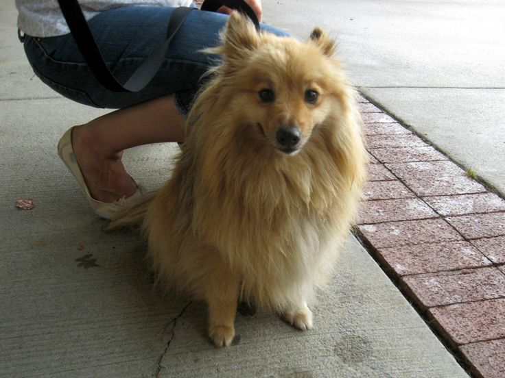 pomeranian mixes poshie pomeranian x sheltie mix info temperament 9641