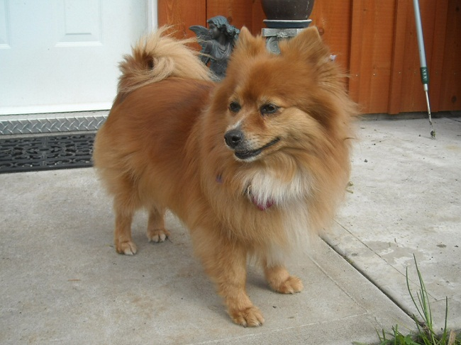 pomeranian mixes poshie pomeranian x sheltie mix info temperament 1344